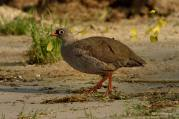 Adult Red-billed Francolin coming down to drink at Elephant Valley along the Chobe river