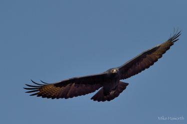 Black Eagle soaring on cliff updraft at Eagle's Rock