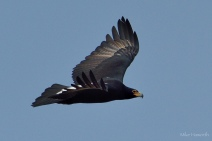 As close as this Black Eagle would fly passed us on the tiop of the sandstone cliffs along the Olifant's river