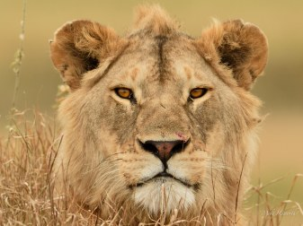 Young male Lion lying in the grass on top of a mound in the Serengeti grass plains