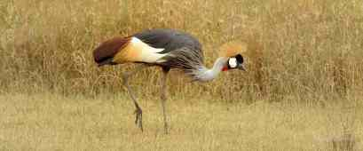Grey Crowned Crane foraging in the Serengeti