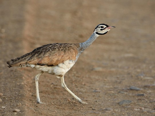 White-bellied Korhaan in the Serengeti