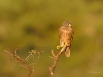 Common Kestrel resting in the Serengeti.