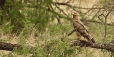 Tawny Eagle in the Serengeti