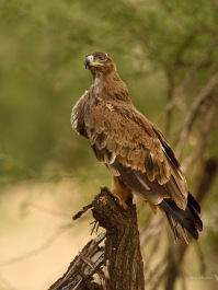Steppe Eagle with a full crop having just fed on a Guineafowl in the Serengeti