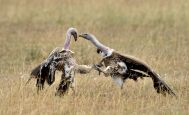 Griffon Vultures fighting next to a carcass in the Serenegti