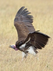 Just landed - a Lappet-faced Vulture in the Serengeti