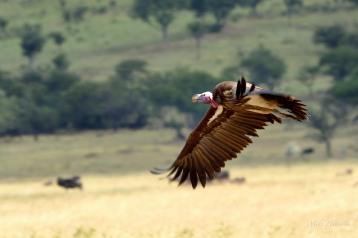 A Lappet-faced Vulture having just taken off in the Serengeti