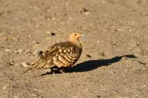 Namaqua Sandgrouse in the Serengeti