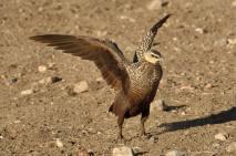 Yellow Throated Sandgrouse in the Serengeti