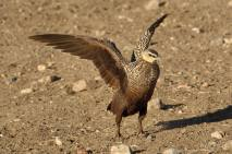 Yellow Throated Sandgrouse in the Serengeti