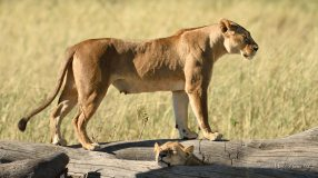 Strong healthy young Lioness early in the morning in the Serengeti