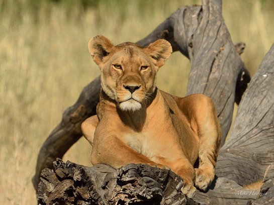A herd of impala caught this Lioness's attention early one monring in the Serengetis's