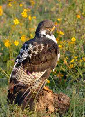 Augur Buzzard early in the morning next to the road in the Ngorongoro crater