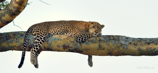 Male Leopard lounging on the horizontal bough of a fever tree in the Serengeti
