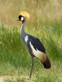 Grey Crowned Crane close to the river down near Simba Hills in the Serengeti