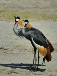 Synchronised posturing by Grey Crowned Cranes