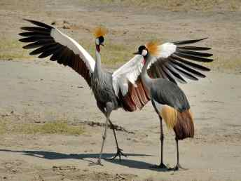 Male Grey Crowned Crane displaying to his partner at Lake Magadi in Ngorongoro crater