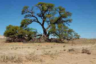 Large Camelthorn tree with branches which have broken off due to