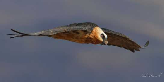Adult Bearded Vulture gliding passed the Vulture's hide at Giant's Castle