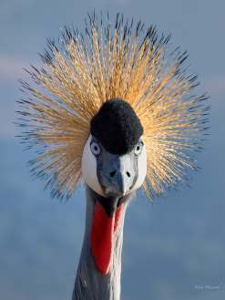 Grey-crowned Crane at the Hlatikulu Crane Sanctuary near Kamberg in KwaZulu Natal, South Africa