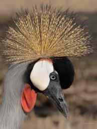 Grey-crowned Crane at the Hlatikulu Crane Sanctuary near Kamberg in KwaZulu Natal, South Africa