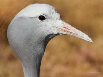 Blue Crane at the Hlatikul Crane Sanctuary near Kamberg in KwaZulu Natal in South Africa