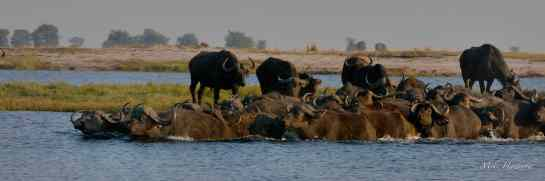 Chobe AM 10-Aug-14 1282