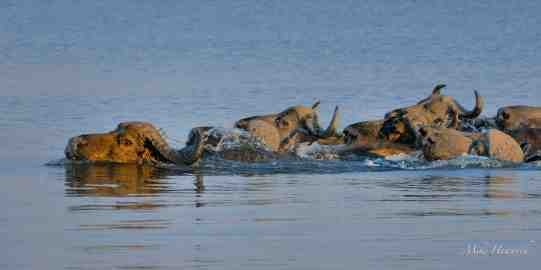 Lead Buffalo swimming across a deep channel in the Chobe river