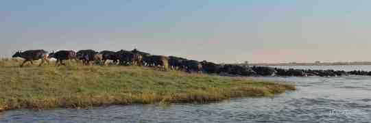 A herd of about 100 Buffalo have just crossed the channel from Skimmer island to the mainland