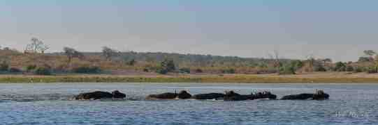 A small group of Buffalo bulls decided to cross from the mainland onto Skimmer isalnd in the Chobe river