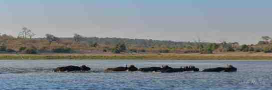 Chobe AM 10-Aug-14 1386