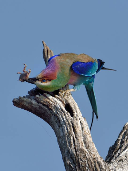 Chobe AM 10-Aug-14 1696