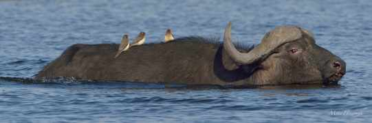 Red-billed Oxpeckers oblivious of the fact they are just about to get wet when this Buffalo bull starts to swim