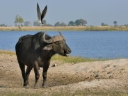 Skimmers mobbing these Buffalo to prevent them from trampling their nests on Skimmer island