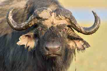 Buffalo stare at you as if you owe them something