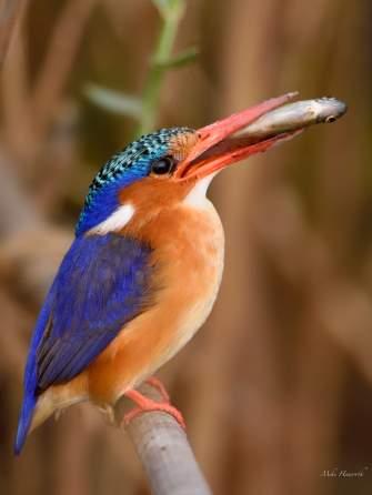 Malachite Kingfisher at the Chobe river
