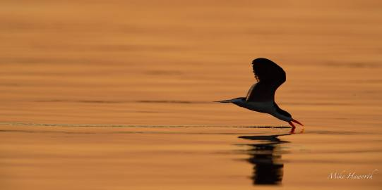 Skimming at sunset along the Chobe river