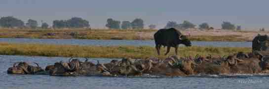 Chobe AM 10-Aug-14 1285