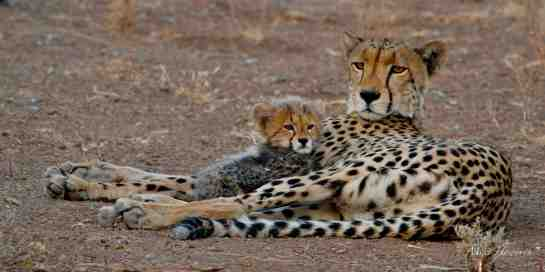 One cub needed a litle extra loving from Mum