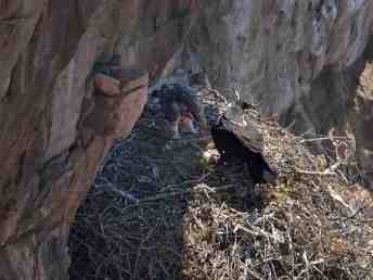 Female Black Eagle feeding her chick with what looked to be the hind quarters of a springhare