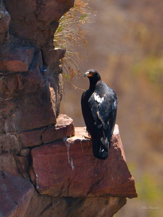 Male Black Eagle standing guard near the pair's nest in Eagle's Rock estate