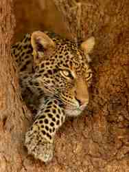 Young female Leopard peering through a fork in a giant Mashatu tree