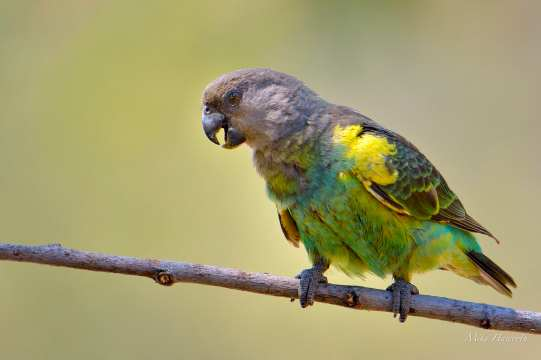 Adult Meyer's Parrot in Mashatu