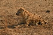 The same badly mauled Hyaena seen a year ago in mashatu has survived on its own