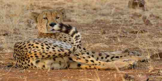 One of a coalition of three male Cheetahs in Mashatu
