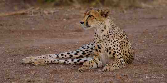 Female Cheetah watching her four cubs cavorting around in the late afternoon light