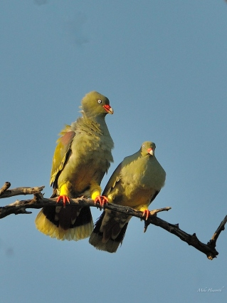 A pair of African Green Pigeons in Mashatu.