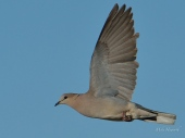 Cape Turtle Dove in flight in Etosha.