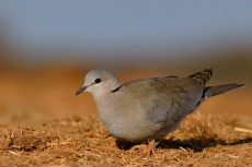 Cape Turtle Dove in Etosha.